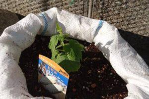 【家庭菜園】つるもの・トマト・ししとう・パッションフルーツ【植え付け】02