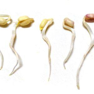 s-【家庭菜園】緑豆のもやし作りに挑戦!その121